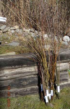 basket willow harvest