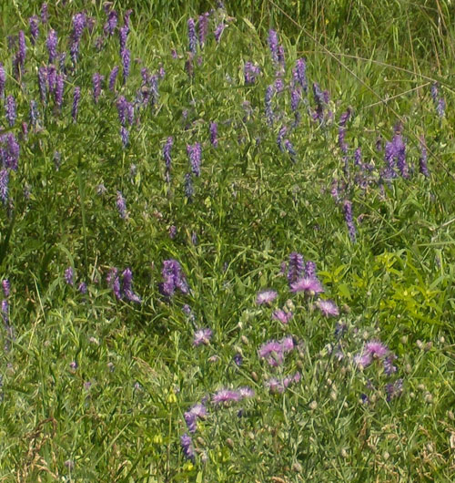 Purple-Vetch-&-Blazing-Star