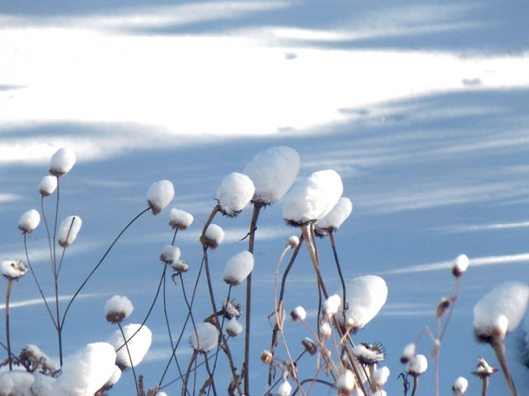 Winter: Snow on Echinacea seedheads