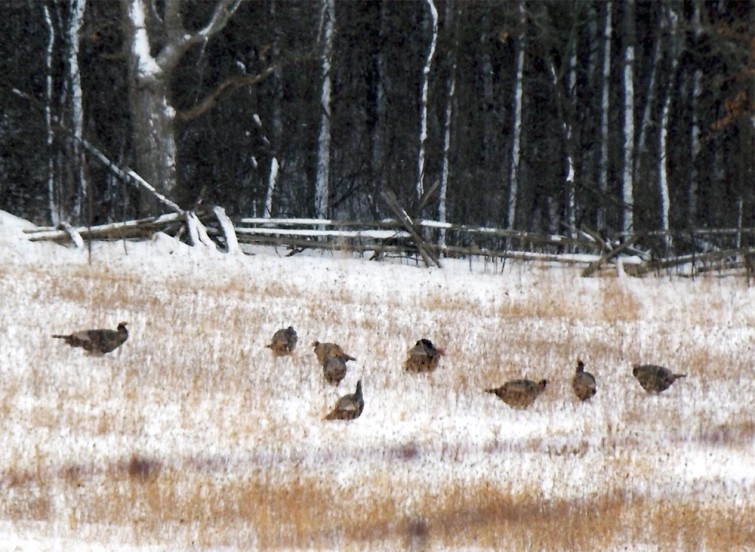 wild turkeys in snowy winter field