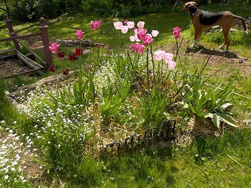 Tulips in the asparagus & rose garden