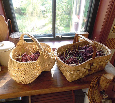First Elderberry harvest