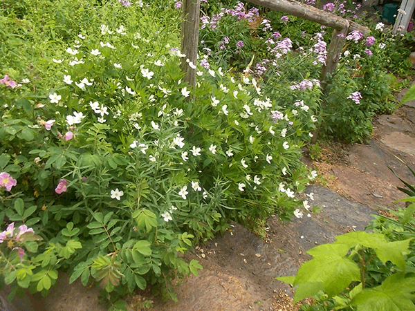 Canada-Anemone