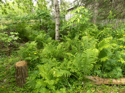 Woodland garden with ferns