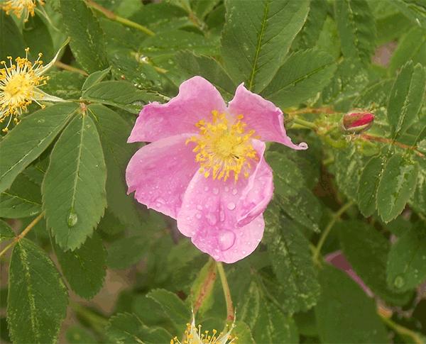 Pasture Rose close-up