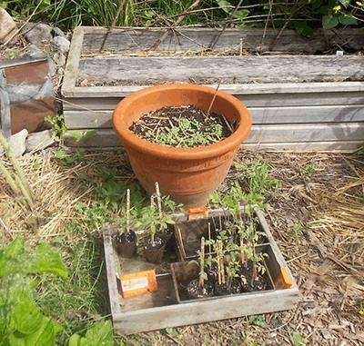Tomato seedlings & germinated Basil