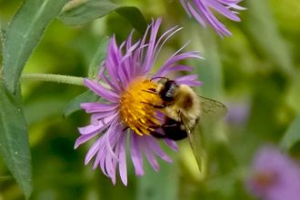 Bee-on-New-England-Aster