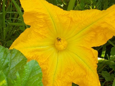Native bee on squash flower