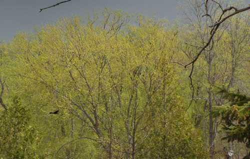 Walnut trees in spring
