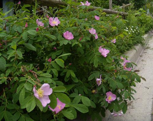 Pasture Roses & Canada Anemones