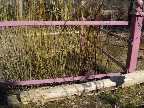Sally Garden (basket willows) before cutting to ground level