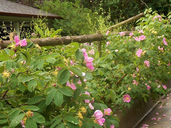 Pasture Roses